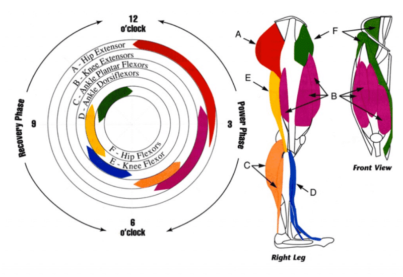 Muscles pedalage velo
